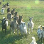 Nigerian Dwarf Dairy Goat