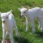 Saanen dairy goat